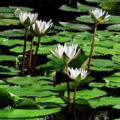 Beautiful lotus flower in the pond — Stock Photo