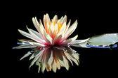 Lotus çiçeği — Stok fotoğraf