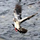 Flying pigeon — Stock Photo