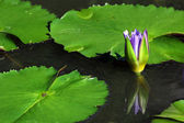 Beautiful lotus flower with reflection — Stockfoto