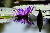 Beautiful lotus flower with reflection — Foto de Stock