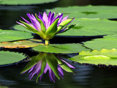 Beautiful lotus flower with reflection — Stock Photo