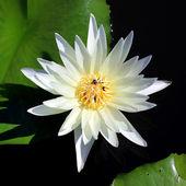 White lotus — Stock Photo