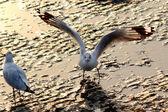 Landing zeemeeuw — Stockfoto