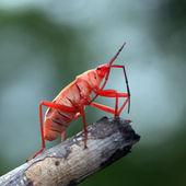 Red stinkbug — Stock Photo