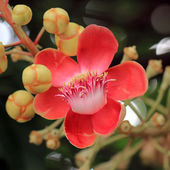 Cannonball tree flower — Foto Stock