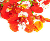 The Flame Tree flowers isolated on white — Stok fotoğraf