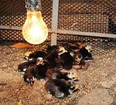 Many little chicken — Stock Photo