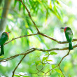 Couple Red-bearded Bee-eater on the branch with food in mouth to — Stock Photo #46012355