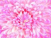 Belo close-up de crisântemo rosa — Fotografia Stock