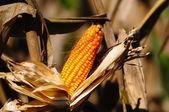 Closeup of dry corn cob ready for harvest — Stock Photo