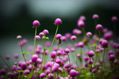 Purple globe amaranth Flower — Stockfoto