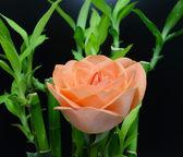 Beautiful rose orange on black background — Stock Photo
