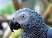 African Grey Parrot (Psittacus erithacus) Focus on the details — Foto Stock