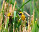Asian Golden Weaver (Male) — Stock Photo