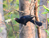 Asian Koel (Eudynamys scolopacea) standing on branch — ストック写真