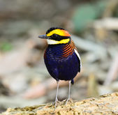 A male Banded Pitta (Pitta guajana), in nature, in Thailand — Stock Photo