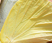 Butterfly wing texture, close up of detail of butterfly wing for — Stock Photo