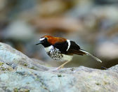 Male chestnut-naped forktail, chestnut-naped forktail standing o — Stock Photo