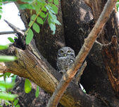 Spotted Owlet (Athene brama) on a branch — Stock Photo