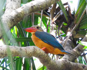 Stork-billed Kingfisher, Halcyon capensis, perching on the tree  — Stock Photo