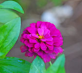 Zinnia flowers on natural background — 图库照片