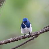 Beautiful Blue Bird, Ultramarine Flycatcher, perching on branch  — Stock Photo