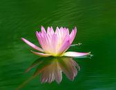 Piękne wody lilly — Zdjęcie stockowe