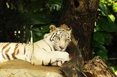 Tigri del Bengala bianco dormire — Foto Stock