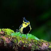 Colorful yellow bird, Yellow-cheeked Tit (Parus spilonotus) bird — Stock Photo