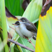 Newborn Plain Prinia ,nature  in Thailand — Stock Photo
