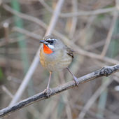 Siberian Rubythroat (male bird) closeup, on a branch, nature, in — Stock Photo
