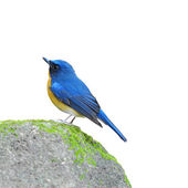 Bird hill blue flycatcher isolated on white background — ストック写真
