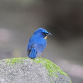 Bird hill blue flycatcher — Stock Photo