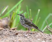 Beautiful immature Red-throated Pipit (Anthus cervinus) on groun — Stock Photo