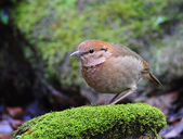 Bird Rusty-naped Pitta — Stock Photo