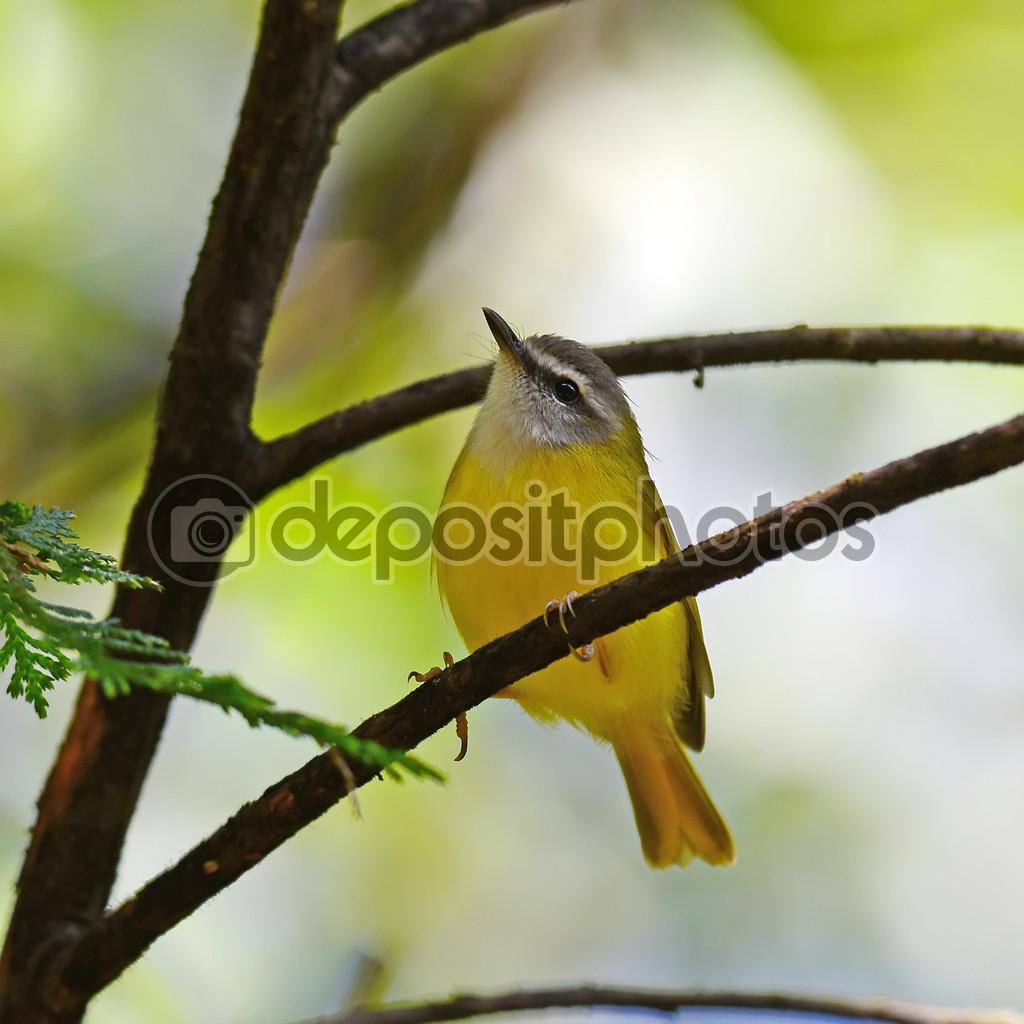 Oiseau color de jaune paruline ventre jaune for Oiseau ventre jaune