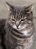 Gray cat — Zdjęcie stockowe