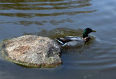 A duck — Stock Photo