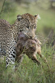 Leopard, Panthera pardus, carrying prey — Stock Photo