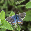 Silver-studded blue butterfly, plebejus argus — Stock Photo #42836531