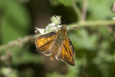 Large skipper butterfly — Stock Photo