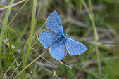 Adonis blue butterfly, Polyommatus bellargus — Stock Photo