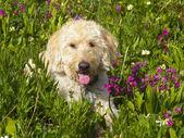 山の牧草地でまったり traildog — ストック写真