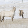White Horses Relaxing in a Snow Covered Pasture — Stock Photo