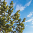 Stock Photo: Pine branches stretching into sky