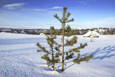 Young pine winter — Stock Photo