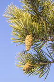 Pine cone on a branch — Foto Stock