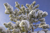 Sprinkled with snow pine branches — Stock Photo