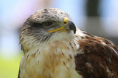 Predatory Bird — Stock Photo
